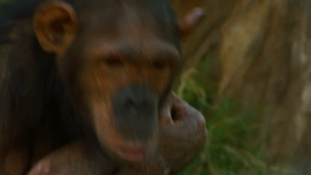 Escape to Chimp Eden: The Rise and Fall of Gida: Watch the Full Episode Now